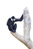 Hoolock长臂猿 库存图片