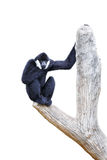 Hoolock gibbon Stock Images