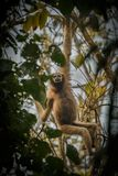 Hoolock gibbon high on a tree in the nature habitat. Hoolock gibbon high on a tree/wild indian monkey in the indian forest/gibbon wildlife sanctuary in India Stock Photo