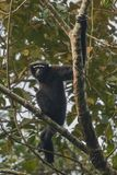 Hoolock gibbon high on a tree in the nature habitat. Hoolock gibbon high on a tree/wild indian monkey in the indian forest/gibbon wildlife sanctuary in India royalty free stock photo