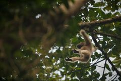 Hoolock gibbon high on a tree in the nature habitat Royalty Free Stock Photos