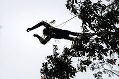 Hoolock gibbon high on a tree Stock Photos