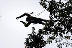 Hoolock-Gibbon hoch auf einem Baum Stockfotos