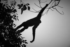 Hoolock-Gibbon hoch auf einem Baum im Naturlebensraum Stockbild