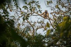 Hoolock-Gibbon hoch auf einem Baum im Naturlebensraum Lizenzfreie Stockfotos