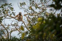 Hoolock-Gibbon hoch auf einem Baum im Naturlebensraum Stockfotografie