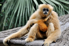 Hoolock gibbon mother and kid Royalty Free Stock Images