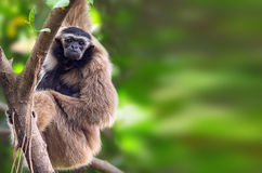 Hoolock gibbon. The white-brow gibbon looked for food in the woods royalty free stock images