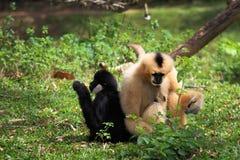 Hoolock gibbon and white gibbon Stock Photography