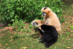 Hoolock gibbon and white gibbon Royalty Free Stock Photo