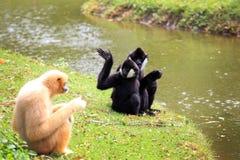 Hoolock gibbon and white gibbon Royalty Free Stock Image