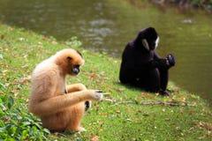 Hoolock gibbon and white gibbon Stock Photos