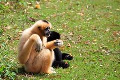 Hoolock gibbon and white gibbon Royalty Free Stock Photo