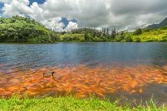 Hoomaluhia sjö Koi Fish Arkivbilder
