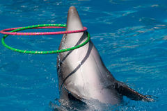 Hoop. A dolphin with two hoops Royalty Free Stock Photo