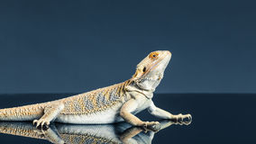 Hoop bearded lizard Royalty Free Stock Photos