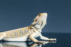Hoop bearded lizard Royalty Free Stock Photography