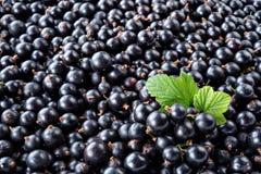 Hoop van zwarte bes Verse organische bessenmacro De achtergrond van het fruit Stock Afbeeldingen