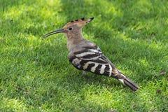 Hoopie-Vogel auf einem grünen Rasen stockbild
