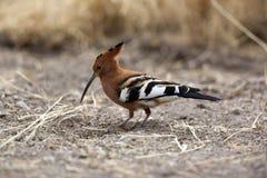 hoopoe Намибия Стоковое Фото