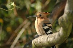 Hoopoe. Little Hoop Hoop in a tree stock photo