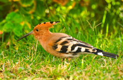 Hoopoe Stock Photos
