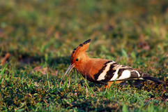 Hoopoe Royalty-vrije Stock Foto