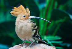 hoopoe Royaltyfria Bilder