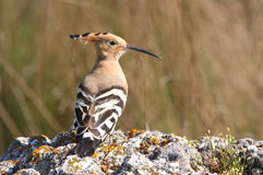 Hoopoe royalty free stock images