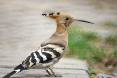 Hoopoe Stock Images