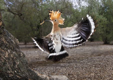 hoopoe Royaltyfria Foton