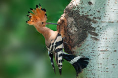Hoopoe photographie stock