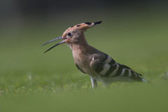 Hoopoe Photo stock
