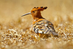 Hoopoe. African hoopoe looking for grubs on the dry forest floor, South Africa Stock Photo