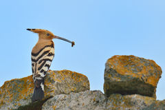 Hoopoe. Eating insect on the rock Stock Photo