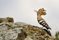 Hoopoe (Upapa epops). Singing hoopoe on the rock royalty free stock photos