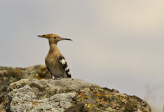 Hoopoe on Grass (Upapa epops) Royalty Free Stock Photos