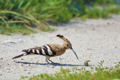 The Hoopoe Stock Photography