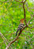 Hoopoe. Tropical bird hoopoe . A bird in the wild. The national Park of Sri Lanka Stock Images