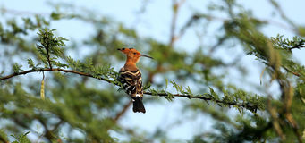 Hoopoe. Lonely hoopoe watch and look in forest Royalty Free Stock Images