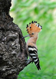 Hoopoe fotografia de stock royalty free
