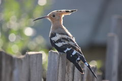 Hoopoe Stockfotos