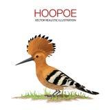 Hoopoe Imagen de archivo libre de regalías