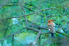 Hoopoe africano, africana del Upupa, pájaro anaranjado agradable con la cresta que se sienta en el árbol verde en el prado del ve imagenes de archivo