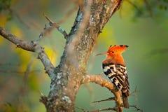 Hoopoe africano, africana del Upupa, pájaro anaranjado agradable con la cresta que se sienta en el árbol verde en el prado del ve foto de archivo libre de regalías