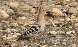 Hoopoe. On the alert in Andalusia Spain Royalty Free Stock Image