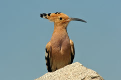 a hoopoe Stock Photo