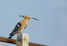 Hoopoe with beautiful long beak Stock Photos