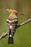 Hoopoe bird. Perched on the branch Royalty Free Stock Photo