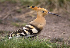 Hoopoe bird Royalty Free Stock Photo